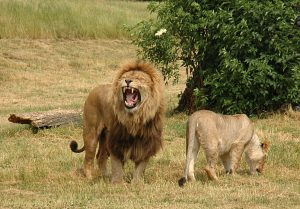 An image of two lions at West Midlands safari park, Worcestershire